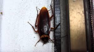 roaches in my bathroom eurghhh huge scarey cockroach in thai bathroom 720p hd youtube