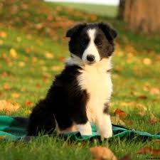 bearded collie and border collie mix border collie puppies for sale greenfield puppies
