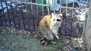 Backyard Animals Lyrics Raccoon Refuses To Leave Man U0027s Yard In New England Daily Mail Online