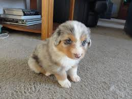 australian shepherd illinois awesome aussies of orland park puppies for sale