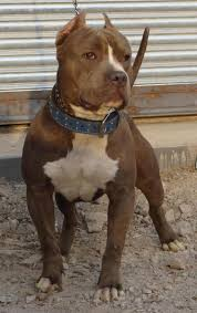american pitbull terrier dog price dogs and more dogs answers how do i train my dog to outside