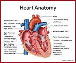 Heart Anatomy Youtube Anatomy Of The Heart In The Cardiovascular System Chapter 12 The