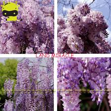 online buy wholesale chinese wisteria tree from china chinese