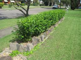 murraya paniculata large orange jasmine murraya hedge google search frontyard ideas pinterest gardens