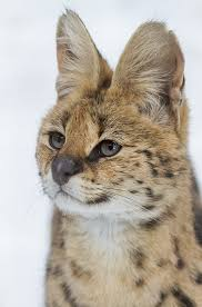 the name serval is derived from a portuguese word meaning wolf deer