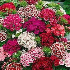 sweet william flowers sweet william seeds indian carpet single mix
