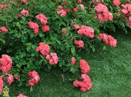 drift roses coral drift the planting tree