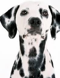 35 beautiful dalmatian dog photos pictures