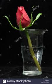Single Rose In A Vase A Single Rose In A Glass Of Water Against A Black Background Stock