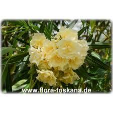 Kies Garten Gelb Nerium Oleander Gelb Gefüllt Oleander Rosenlorbeer Flora Toskana