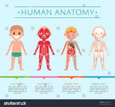 Male Internal Organs Anatomy Human Anatomy Medical Poster Child Male Stock Vector 680391331