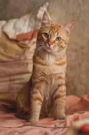 best 25 orange cats ideas on pinterest kittens cutest baby
