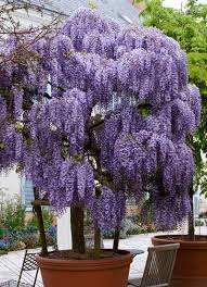 purple wisteria tree for sale brighter blooms nursery
