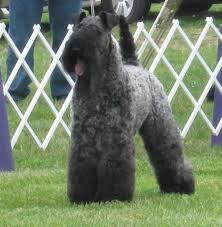 affenpinscher joey dog show 2012 07 01