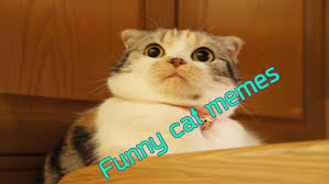 Silly Cat Memes - funny animal videos funny cute cat memes youtube