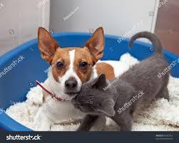 australian shepherd jack russell terrier jack russell terrier pointy ears looks stock photo 50403721