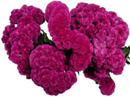 coxcomb flower innumerable goods coxcomb