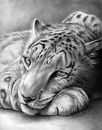 best 25 snow leopard drawing ideas on pinterest snow leopard