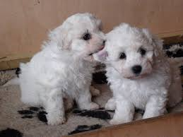 bichon frise and a shih tzu bichon frise and shih tzu mix puppies picture