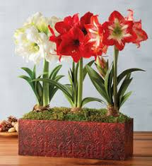 amaryllis bulbs and amaryllis plant gifts harry david