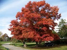 21 best oak trees images on oak leaves oak and