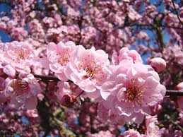 trees with pink flowers 28 tree with pink flowers name flowering trees for the