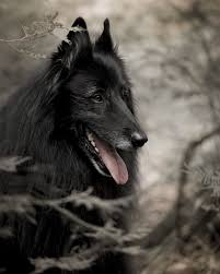 belgian shepherd groenendael for sale 1000 images about critters on pinterest