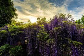 ashikaga flower park japan ashikaga flower park japan park glycine