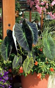 Tropical Plants Pests Elephant Ears Create A Tropical Paradise Mississippi State