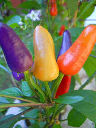 best 25 capsicum annuum ideas on vintage botanical
