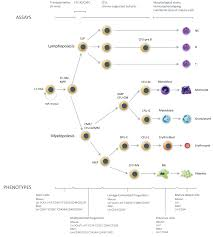 hematopoietic stem and progenitor cells hspcs
