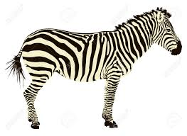 two color illustration of zebra profile isolated on white