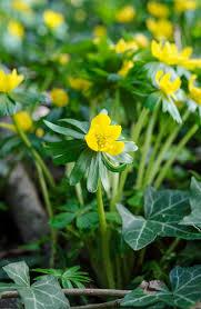 eranthis hyemalis or winter aconite a native woodland plant