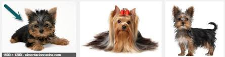 yorkie hair cut chart dogs will the hair of my yorkie terrier growth so long pets