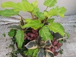 Houseplant Shade Planter U2013 Xanadu Philo Fittonia Rubber Plant Ivy