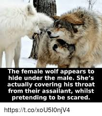 Wolf Meme - the female wolf appears to hide under the male she s actually
