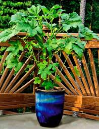 growing okra in pots how to grow okra in containers balcony