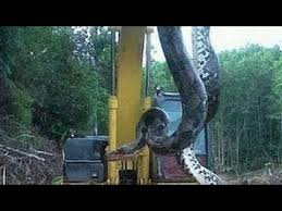 vidio film ular anaconda ular terbesar di dunia 2014 ular terbesar terpanjang ular hidup mati