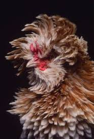i also adore the crest feather headdress of polish chickens this