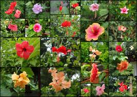 Names And Images Of Flowers - ayurvedic benefits of hibiscus flower