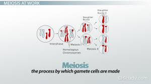 what are genotypes definition u0026 examples video u0026 lesson