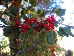 growing california native plants trees and shrubs sierra foothill garden