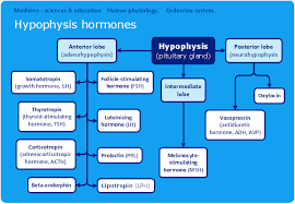 endocrine system concept map conceptdraw sles science and education medicine
