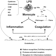 the role of the endothelium in severe sepsis and multiple organ