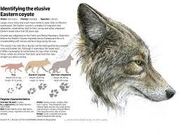 n j coyote hunt begins in effort to stem canine encroachment nj com