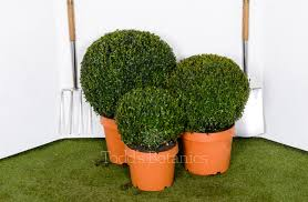 buxus sempervirens in vaso 30cm topiary box for sale