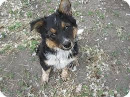 australian shepherd mix puppies for sale moose adopted puppy wauseon oh australian shepherd blue