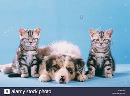 australian shepherd with cats animal friendship two british shorthair kittens and an australian