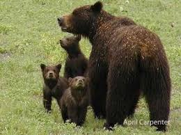 Ozzy The Grizzly Bear Superbowl Xlvii 98 5 The Wolf Youtube - 22 best brown images on pinterest baby puppies brown and house design