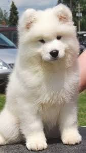 types of american eskimo dogs 5 most affectionate dog breeds the american eskimo dog breed is